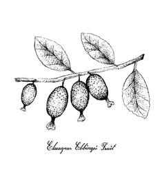 Hand drawn of elaeagnus latifolia fruits on white vector