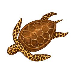 sea creature cheloniidae or green turtle engraved vector image vector image