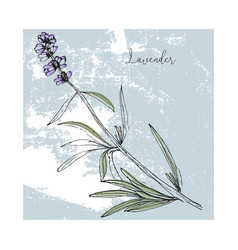 Hand drawn lavender flower isolated vector