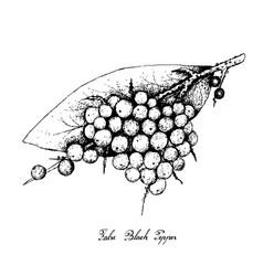 Hand drawn of false black pepper fruits vector
