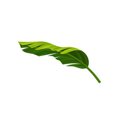 Curved leaf of banana palm tree with light and vector