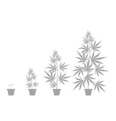 Growth cycle cannabis sativa potted plant vector
