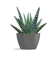 Haworthia - zebra cactus vector