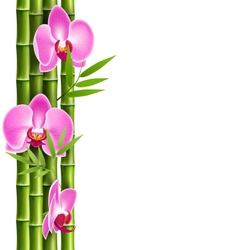 Orchid pink flowers with bamboo isolated on white vector image