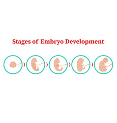 Stages of embryo development flat vector