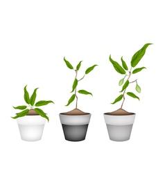 Three Chebulic Myrobalans in Ceramic Flower Pots vector image vector image