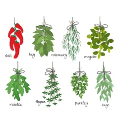 Bunches of medicinal aromatic herbs vector
