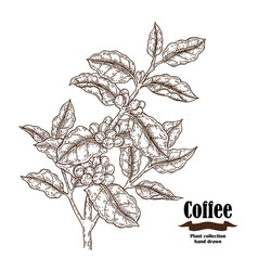 Hand drawn coffee branch with berries and leaves vector