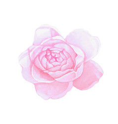 Isolated pink watercolor painting peony flower vector