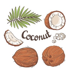Coconut set - the whole nut leaves a coco segment vector