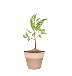 A Chick Peas Plant in Ceramic Flower Pots vector