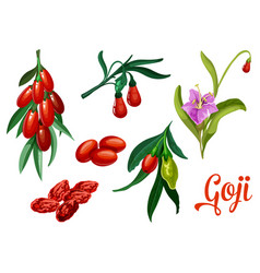 goji plant with berry and flower botanical design vector image