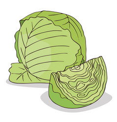 Isolate green cabbage vegetable vector