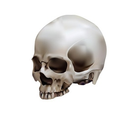 Human skull in white background vector image