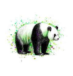 portrait a panda bear from a splash of vector image