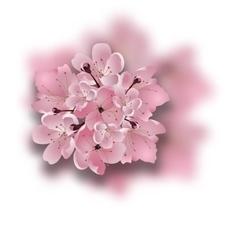 Japanese cherry sakura bouquet of pink flowers vector