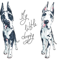 spotted dog great dane breed vector image