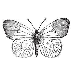 anthocharis cardamines vintage vector image