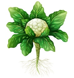 Cauliflower with leaves and roots vector image vector image