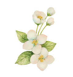 watercolor jasmine isolated on a white background vector image vector image