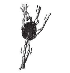 vessels of a lymph node vintage vector image