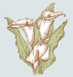 bouquet white calla lilies vector image
