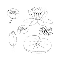 lotus bud and leaf on white vector image