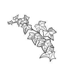 Sketch design elements plant ivy vector