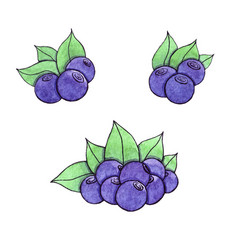 hand drawn watercolor blueberry isolated on the vector image