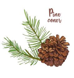 Realistic botanical ink sketch of colorful fir vector