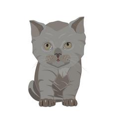 british shorthair breed sad kitten flat vector image