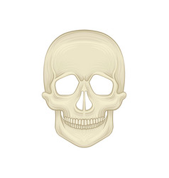 structure of human skull - bony part of head vector image