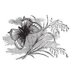 Thecla pruni vintage vector