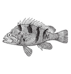 Grass rockfish vintage vector