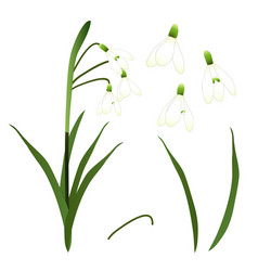 White snowdrop flower isolated on white vector