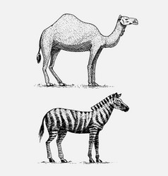 Camel and zebra hand drawn engraved wild animals vector