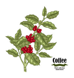 Hand drawn coffee plant with berries and leaves vector