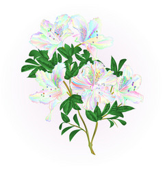 multicolored flowers rhododendron twig vector image