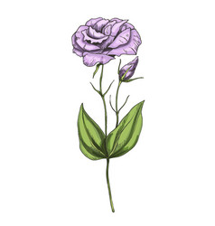 hand drawn eustoma garden flower isolated vector image