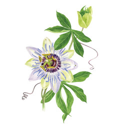 watercolor passion flower branch vector image