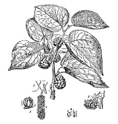 Black mulberry branch with fruits and leaves vector