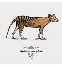 Tasmanian wolf Thylacinus cynocephalus engraved vector