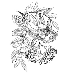 rowan branch drawing vector image vector image