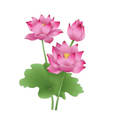 Lotus flowers on a white background the stages of vector