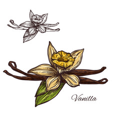 Vanilla flower spice herb sketch plant icon vector