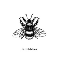 Bumblebee hand drawn sketch vector