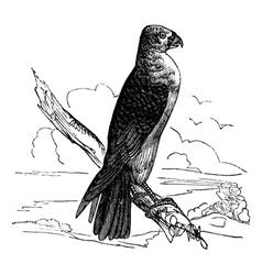 Milan Falco vintage engraving vector image