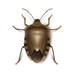 brown shield bug vector image vector image