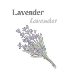 Lavender color drawing lavender 10eps lavender vector