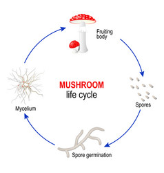 Mushroom life cycle from spores to mycelium and vector